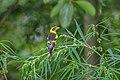 Finn's weaver (Ploceus megarhynchus) 39.jpg