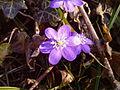 Fiore di Hepatica nobilis.jpg