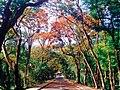 Fire Trees in U.P. Diliman, Quezon City (2).jpg