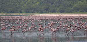 Накуру: Flamingos, Lake Nakuru