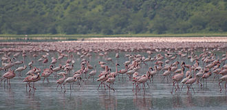 Nakuru - Flamingos on Lake Nakuru
