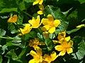 Fleurs sur le Vitocha 3.jpg