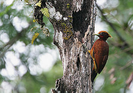 Flickr - Rainbirder - Chestnut Woodpecker (Celeus elegans).jpg