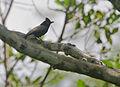 Flickr - Rainbirder - Retz's Helmet-Shrike (Prionops retzii) (1).jpg