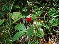 Flickr - cyclonebill - Skovjordbær.jpg