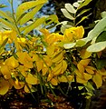 Flores de Diphysa Americanaa.JPG