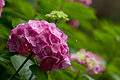 "Flower, Hydrangea ""Europe"" - Flickr - nekonomania.jpg"