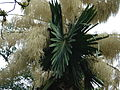 Flowering Talipot Palm 05.jpg