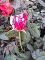 Flowers - Uncategorised Garden plants 195.JPG