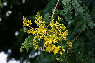 Libidibia ferrea - Image: Flowers of Caesalpinia ferrea 'Leopard tree' in Brisbane (6430961969)