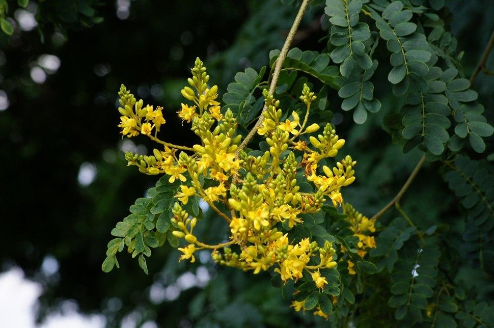 Flowers of Caesalpinia ferrea -%27Leopard tree%27 - in Brisbane (6430961969).jpg