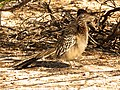 Fluffy Greater Roadrunner - Flickr - treegrow.jpg