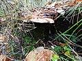 Fomitopsis pinicola 95685005.jpg