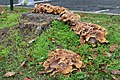 Fontainebleau champignons Fungi novembre 2020 06.jpg