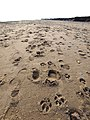 Foot and Dogprints on Kilnsea Beach - geograph.org.uk - 1170489.jpg