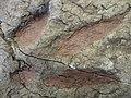 Fossil footprint, Desert Museum.jpg