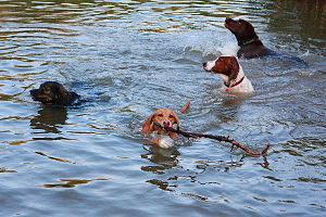 Four swimming dogs