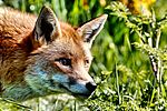 Fox - Explored -) (30534867011).jpg