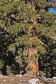 Foxtail pine Pinus balfouriana base Bullfrog Lake.jpg