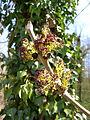 Fraxinus excelsior flowers2.JPG