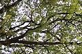 Fraxinus ornus - Crni jasen (10).jpg
