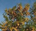 Fraxinus ornus 20091010.jpg