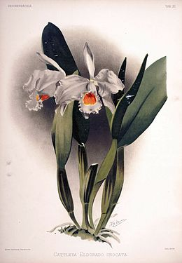 Frederick Sander - Reichenbachia II plate 93 (1890) - Cattleya eldorado crocata