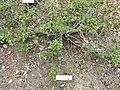 Fremontodendron californicum ssp. decumbens - University of California Botanical Garden - DSC09021.JPG