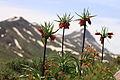 Fritillaria imperialis3.JPG