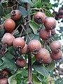 Froitos Pyrus cordata, pereira brava, Xardín botánico de Culleredo 2.jpg