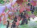 Fruit Kohaze.JPG