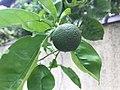 Fruit of Citrus 20200625.jpg