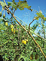 Fruiting branch of Solanum neei in Misiones, Argentina - PhytoKeys-018-001-g002.jpeg