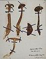 Fungi agaricus seriesI 027.jpg