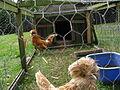 Funky chickens 2008-06-25 10-07.jpg