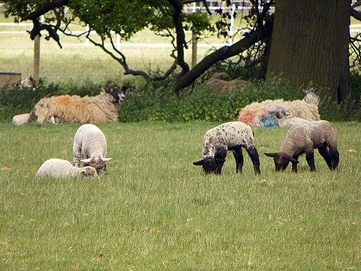 GOC Kimpton 126 Sheep (5727244082)