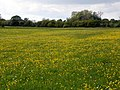 GOC The Pelhams 098 Buttercup meadow, Furneux Pelham (28215337252).jpg