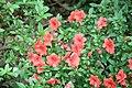 Gable Azalea (Rhododendron) 1A-12-G (3574410817).jpg