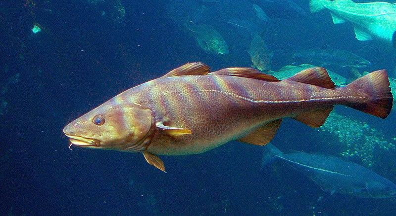 Γάδος (Gadus Morhua ή καλλαρίας) - Ατλαντικός γάδος – φωτογραφία © Hans-Petter Fjeld - wiki