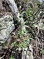 Galeopsis ladanum s. str. sl3.jpg
