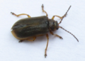Galerucella nymphaeae 01.png