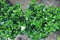 Gardenia augusta Veitchii 2zz.jpg
