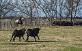 Gardian and Camargue cattles, Saint-Gilles 10.jpg