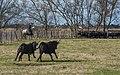 Gardian and Camargue cattles, Saint-Gilles 10.jpg