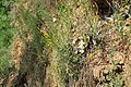 Genista tinctoria kz05.jpg