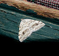 George's Carpet Moth - Plemyria georgii? (10225169603).jpg