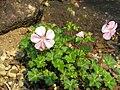 Geranium dalmaticum1.jpg
