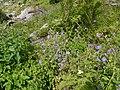 Geranium pratense L. (7813181564).jpg