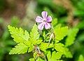 Geranium robertianum in Aveyron (12).jpg