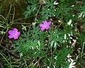 Geranium sanguineum 2.jpg